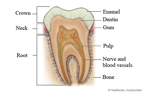 anatomy-of-human-teeth-normal-tooth-anatomy-awesome